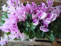 2018-01-14花と泉の公園ベゴニア館261