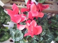 2018-01-14花と泉の公園ベゴニア館260