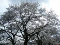 2018-04-17千厩支所の桜ーしろぷーうさぎ12