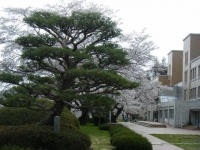 2018-04-17千厩支所の桜ーしろぷーうさぎ08