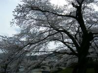 2018-04-17千厩支所の桜ーしろぷーうさぎ17
