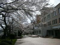 2018-04-17千厩支所の桜ーしろぷーうさぎ13
