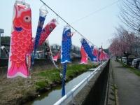 2018-04-20千厩川の鯉のぼり06