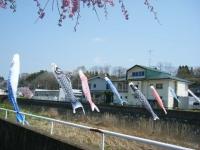 2018-04-20千厩川の鯉のぼり12