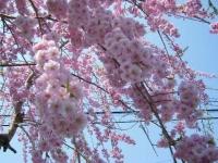 2018-04-20千厩川の鯉のぼり18