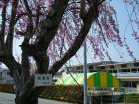 2018-04-20千厩川の鯉のぼり17