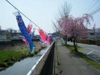 2018-04-20千厩川の鯉のぼり16