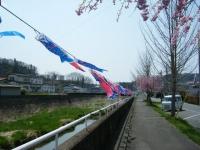 2018-04-20千厩川の鯉のぼり15