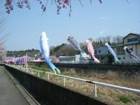 2018-04-20千厩川の鯉のぼり14