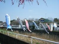 2018-04-20千厩川の鯉のぼり13