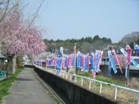 2018-04-20千厩川の鯉のぼり21