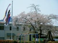 2018-04-20千厩川の鯉のぼり29