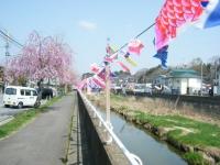 2018-04-20千厩川の鯉のぼり33