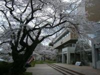 2018-04-17千厩支所の桜ーしろぷーうさぎ30