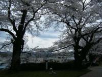 2018-04-17千厩支所の桜ーしろぷーうさぎ29