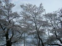 2018-04-17千厩支所の桜ーしろぷーうさぎ27
