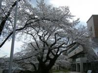 2018-04-17千厩支所の桜ーしろぷーうさぎ26