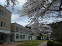 2018-04-17千厩支所の桜ーしろぷーうさぎ25