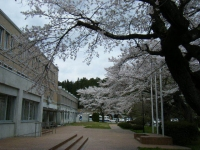 2018-04-17千厩支所の桜ーしろぷーうさぎ36