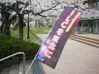 2018-04-17千厩支所の桜ーしろぷーうさぎ42