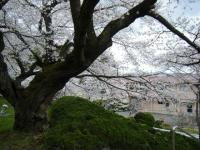 2018-04-17千厩支所の桜ーしろぷーうさぎ40