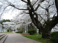 2018-04-17千厩支所の桜ーしろぷーうさぎ39