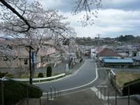 2018-04-17千厩支所の桜ーしろぷーうさぎ38