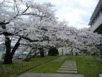 2018-04-17千厩支所の桜ーしろぷーうさぎ48