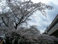 2018-04-17千厩支所の桜ーしろぷーうさぎ46
