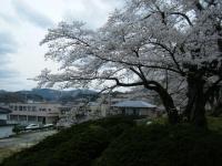 2018-04-17千厩支所の桜ーしろぷーうさぎ44