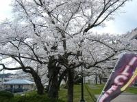 2018-04-17千厩支所の桜ーしろぷーうさぎ43