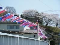 2018-04-20千厩川の鯉のぼり41