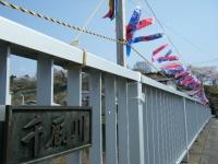 2018-04-20千厩川の鯉のぼり38