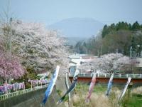 2018-04-20千厩川の鯉のぼり47
