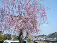 2018-04-20千厩川の鯉のぼり56
