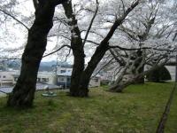 2018-04-17千厩支所の桜ーしろぷーうさぎ54