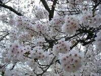 2018-04-17千厩支所の桜ーしろぷーうさぎ53