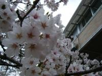 2018-04-17千厩支所の桜ーしろぷーうさぎ52