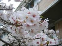2018-04-17千厩支所の桜ーしろぷーうさぎ51