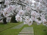 2018-04-17千厩支所の桜ーしろぷーうさぎ50