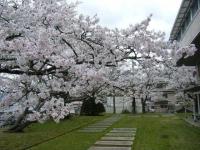 2018-04-17千厩支所の桜ーしろぷーうさぎ49