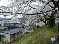 2018-04-17千厩支所の桜ーしろぷーうさぎ59