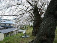 2018-04-17千厩支所の桜ーしろぷーうさぎ57