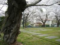 2018-04-17千厩支所の桜ーしろぷーうさぎ66