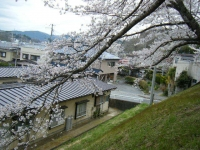 2018-04-17千厩支所の桜ーしろぷーうさぎ65