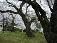 2018-04-17千厩支所の桜ーしろぷーうさぎ64