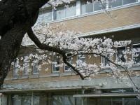 2018-04-17千厩支所の桜ーしろぷーうさぎ61