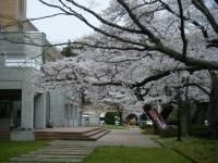 2018-04-17千厩支所の桜ーしろぷーうさぎ71