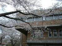 2018-04-17千厩支所の桜ーしろぷーうさぎ68