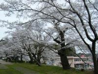 2018-04-17千厩支所の桜ーしろぷーうさぎ78
